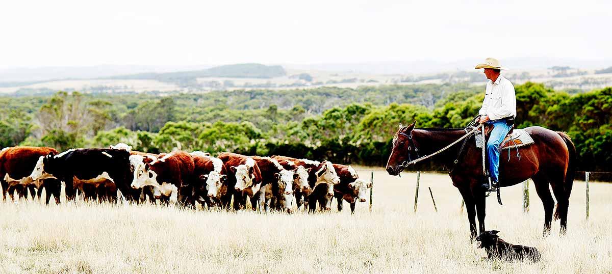 Quy trinh chăn nuôi bò tại Úc